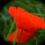 Roter Mohn 2007
