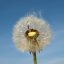 Pusteblume2
