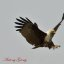 Brahminy Kite (On reaching the first Milestone of 10,000 + Views)