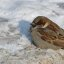 Sparrow. Cold winter #2