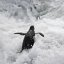 African Penguin Wallpaper high resolution creative commons