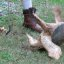 Snapping Turtle flip_4215c