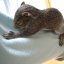 Rehab Baby Gray Squirrel