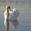 Swan  at Windsor Virginia Water