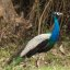 Peacock At Bandipur National park