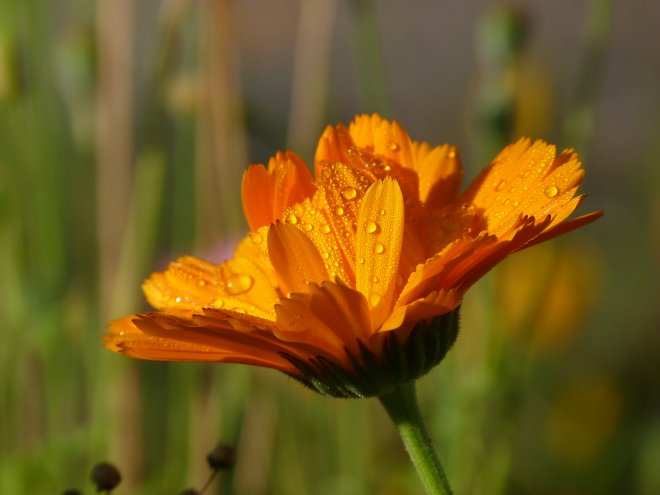 Tropfende Calendula