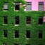 """Chicago - Creeping Ivy """"Almost There!"""""""