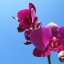 Orchidee in Pink