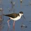 Black-necked Stilt (Himantopus mexicanus) (bird), Morro Creek mouth, Morro Bay, CA, Jan. 7, 2007  black-necked-stilt-morro-creek_306