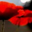 through the dancing poppies stole a breeze.....