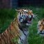 Tigers having a one sided conversation