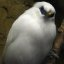 Bali Myna - Only a few of these in the world!