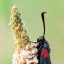 Six-spot Burnet 2