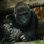 Lowland Gorilla Mother