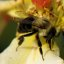 Bumble Bee Drinking Water Off A Rose
