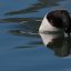"""Adult breeding Male Drake, about to dive - Greater Scaup (Aythya marila) """"Bluebill"""", a small diving duck bird"""