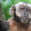 Capuchin Monkey closeup