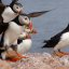 Photo of the week - Atlantic puffins landing