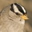 White-crowned Sparrow (Zonotrichia leucophrys; nuttalli) Morro Bay, CA 29j