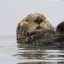 Sea Otter preening itself in Morro Bay, CA  sea-otter-morro-bay_13