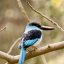 Blue-breasted Kingfisher (Halcyon malimbica)