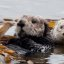 2 of 4 Sea Otter (Enhydra lutris) (marine mammal) Mother with Pup