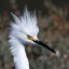 4 of 4 Snowy Egret (Egretta thula) crown close in crop to emphasize beauty of face and crown