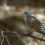 Turtle Dove outside my Window - תור מצוי