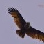 Brahminy Kite Scanning for Food