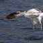 Where did it go? (Diving gull sequel)