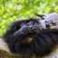 Binturong in dreams