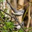 Tufted Titmouse (Beaolophus bicolor)