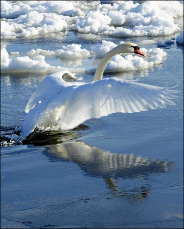 Lake Ontario Swan (Takeoff)
