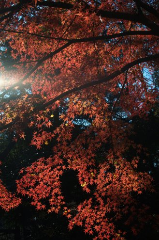 Maple(Shinjyuku Gyoen)