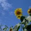Sonnenblumen........