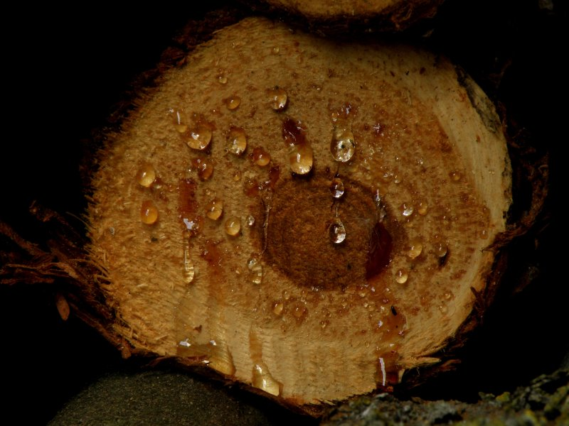 blutendes Holz