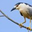 Black-crowned Night Heron Morro Bay CA by Mike Baird 1608c-night-heron-black-crowned-bairdphotos.com