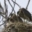 great-blue-heron-chicks-await-food_3