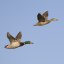 Mallard Ducks in Flight mallard-ducks-in-flight_2
