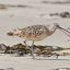 2 of 5 Long-billed Curlew (Numenius americanus) bird eating sand crab
