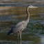 Great Blue Heron (Ardea Herodias) in Morro Bay, CA