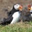 Atlantic Puffins, Scotland