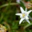 Edelweiss in Sdtirol