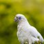 Cheeky Corella