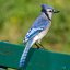 Blue Jay on a Bench (Cyanocitta cristata)