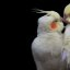 A love birds&#039; kiss