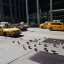 More doves or cabs in N.Y.?