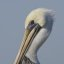 Brown Pelican (Pelecanus occidentalis) (bird) in Morro Bay, CA