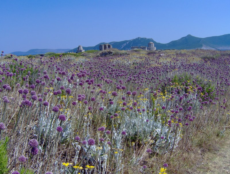 Knoblauchblüte in Methoni