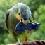 Orange-winged parrot avec mayonnaise